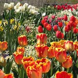 Tulip Festival at Thanksgiving Point, Utah. A variety of colors of spring tulips held annually at Thanksgiving Point Gardens, Utah Royalty Free Stock Photos
