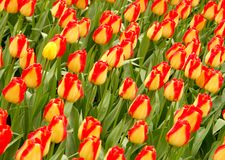Tulip field #1. Tulip field in Keukenhof Royalty Free Stock Image