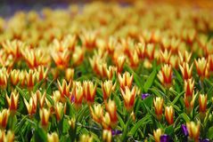 Tulip Field Images stock