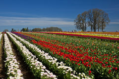 Tulip field. Infinite tulip field covered with colorful flowers. Mt.Hood appears in the background, Oregon Royalty Free Stock Photos