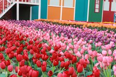 Tulip Field fotografie stock libere da diritti