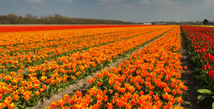 Tulip field. Blooming in holland Stock Photos