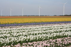 Tulip Field. In the netherlands Stock Images