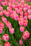 Tulip field. Pink tulip field as a background Stock Images