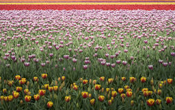 Tulip field 15 Stock Images