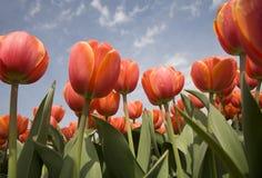Tulip field 16 stock image