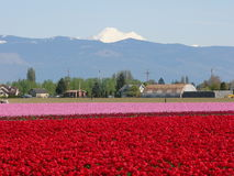 Tulip field. Colorful tulip field stock image