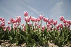 Tulip field 19 Stock Photo