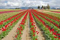 Tulip Field. Royalty Free Stock Photography