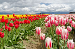 Tulip Field. Stock Photography