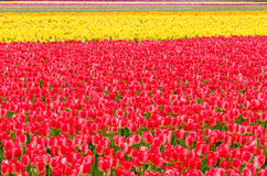 Tulip Field. Royalty Free Stock Photos