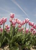 Tulip field 20 Stock Image