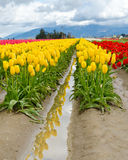 Tulip Field. Royalty Free Stock Image