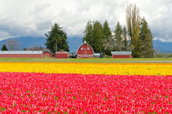 Tulip Field. Stock Images