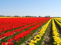 Tulip field. Red yellow stock photo