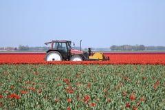 Tulip field 22 stock photo