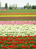 Tulip field. Red, white, pink and yellow tulip field Royalty Free Stock Photography