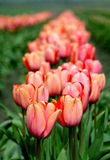 Tulip field. Pink tulip field in Skagit Valley Royalty Free Stock Image