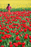 Tulip field. Red and yellow tulip field in Skagit Valley Stock Images