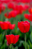 Tulip field. Red tulip field in Skagit Valley Royalty Free Stock Photos