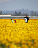 Tulip field. Family walking through tulip field Stock Images
