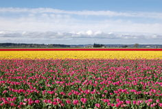 Tulip field. Field of multicolored tulips in pacific northwest Royalty Free Stock Image