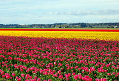 Tulip field. A tulip field in the pacific northwest Stock Images