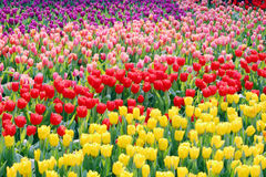Tulip Field. In the Park Stock Photo