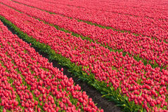 Tulip field. In Holland polder Royalty Free Stock Image