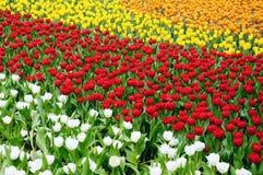 Tulip Field. Of white, red, yello color stock photos