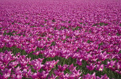 Tulip field 28 Royalty Free Stock Photo