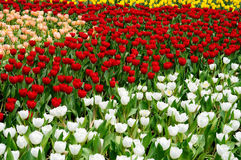 Tulip Field. Of different color stock photography
