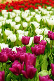 Tulip Field. Of different color stock images