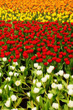 Tulip Field. Of different color royalty free stock image