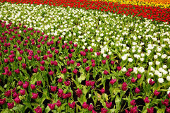Tulip Field. Of different color royalty free stock images
