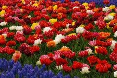 Tulip field Stock Image