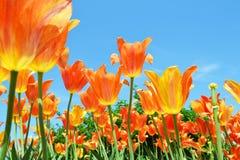 Tulip Field Lizenzfreies Stockbild