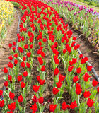 Tulip Field Photos stock