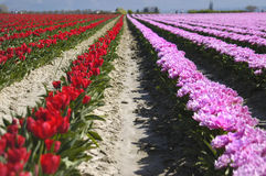 Tulip field. A field full of colorful tulips Royalty Free Stock Image