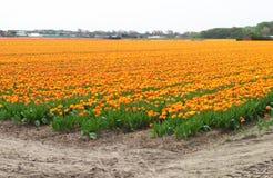 Tulip Field Photographie stock libre de droits