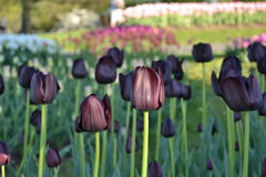 Tulip Field foto de stock