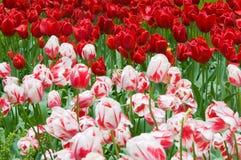 Tulip Field Royalty-vrije Stock Afbeeldingen