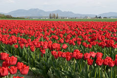 Tulip Field Stockbild