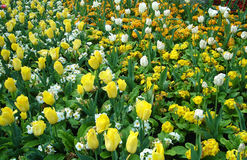 Tulip Field Immagine Stock Libera da Diritti