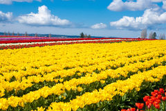 Tulip Field 5 Royalty Free Stock Photography