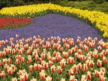 Tulip field #5. Flover plantation in Keukenhof Stock Photography
