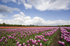 Tulip field Royalty Free Stock Photography