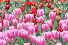 Tulip Field Stockfoto