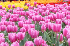 Tulip Field Stockbild