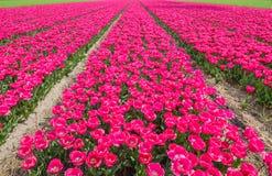 Tulip Field Photos libres de droits